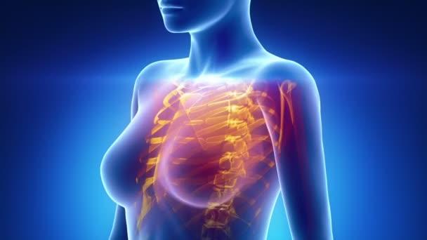ženské skenování hrudní orgány anatomie