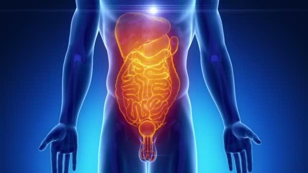 mužské skenování břišních orgánů