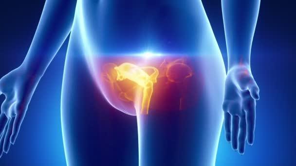 weibliche Geschlechtsorgane-Anatomie — Stockvideo © CLIPAREA #54297139