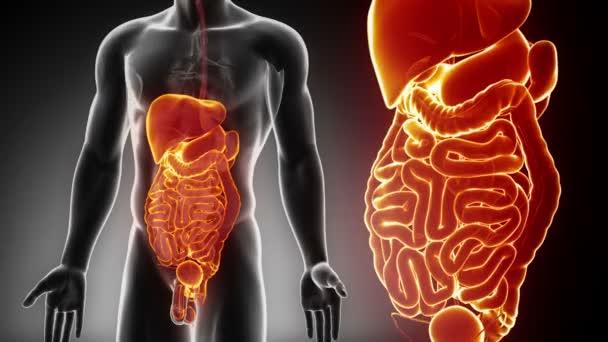 Mužské břišní orgány anatomie