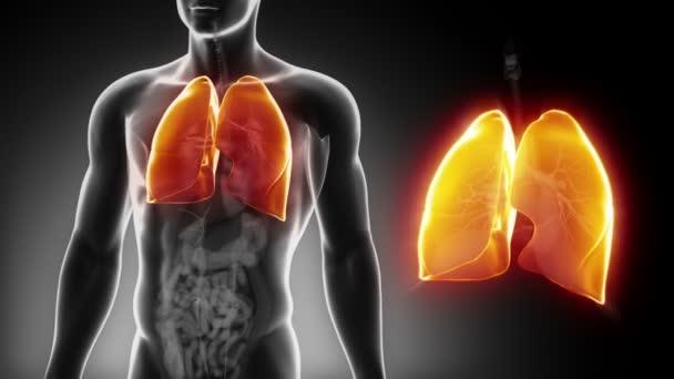 männliche Lunge Anatomie — Stockvideo © CLIPAREA #54797001
