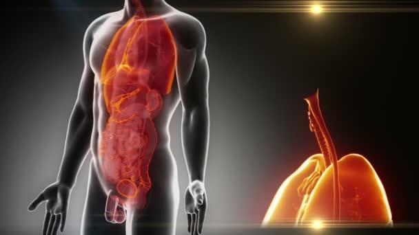 männliche Organe Anatomie — Stockvideo © CLIPAREA #54797879