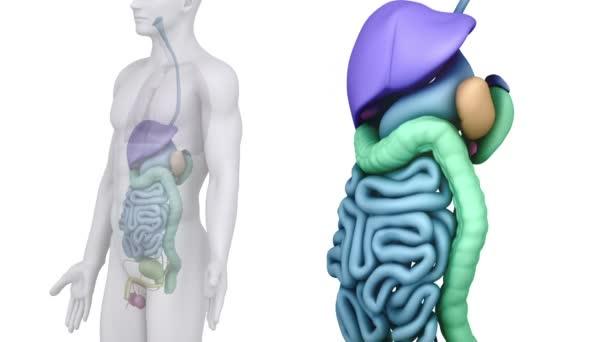 Skenování mužské anatomie břišních orgánů