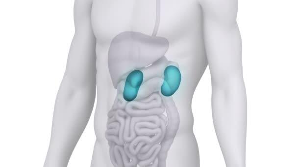 Mužské anatomie ledvin lékařské kontroly