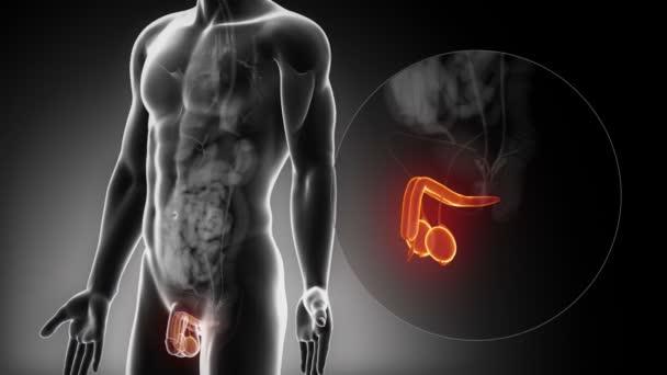 Männliche reproduktive Organe Anatomie — Stockvideo © CLIPAREA #54798889