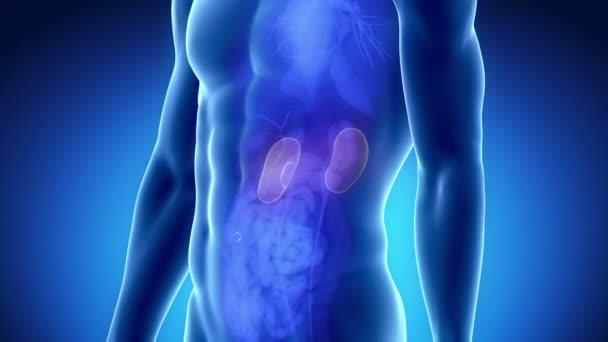 anatomie mužského ledvin