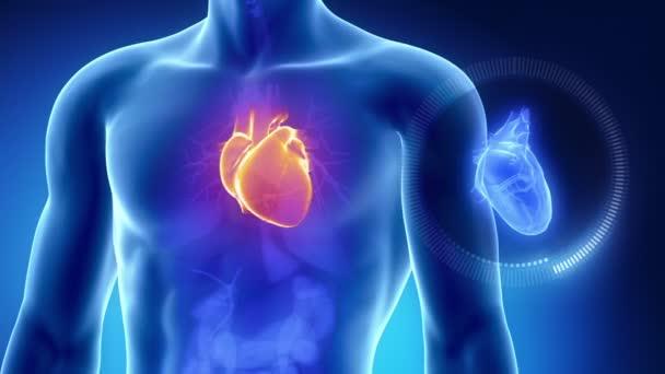 lidské srdce s hrudníkem