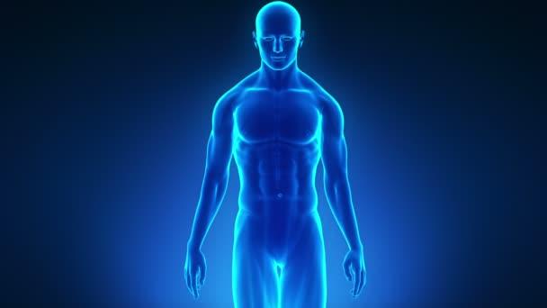 Walking male in medical display