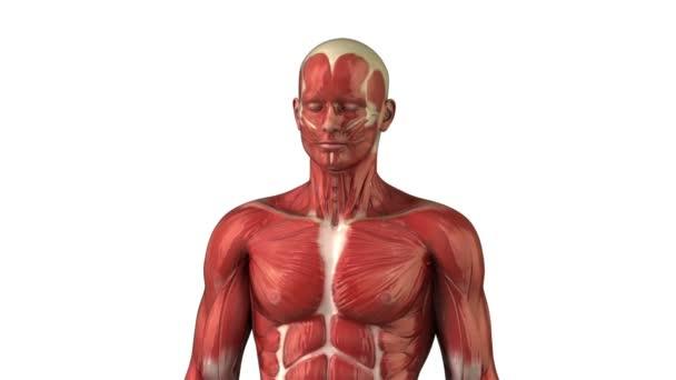 Anatomie der Kopfmuskulatur
