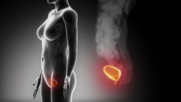 anatomii ženské močové