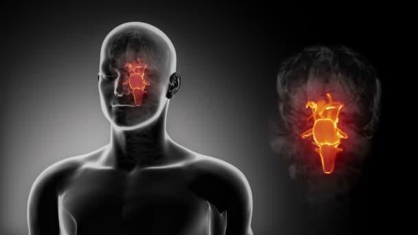 Mužské anatomie mozkového kmene