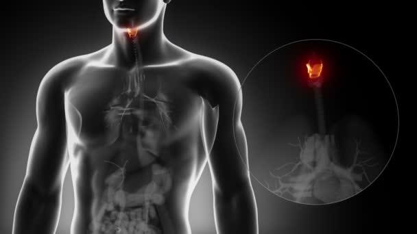 Anatomía de la laringe masculina — Vídeos de Stock © CLIPAREA #54800329