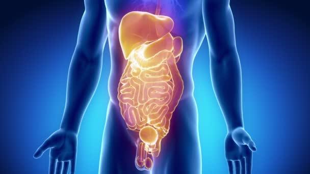 Abdominal organs anterior