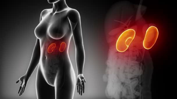 Anatomie der weiblichen Niere