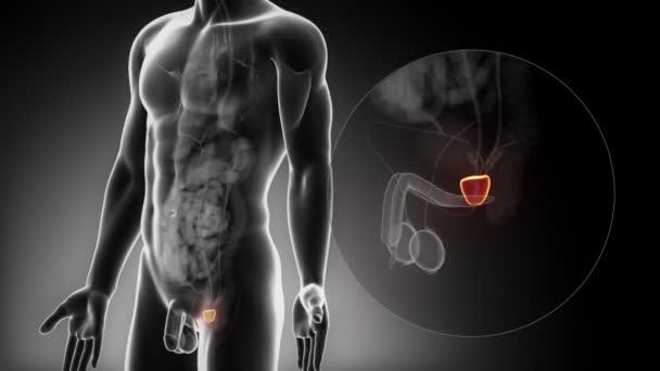 Anatomía de próstata masculina — Vídeo de stock © CLIPAREA #54800611