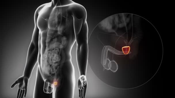 männlichen Prostata Anatomie — Stockvideo © CLIPAREA #54800611
