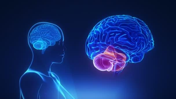 Ženské mozečku v mozku smyčky