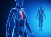 Female body with STERNUM bone scan