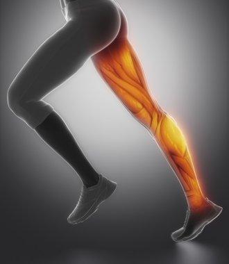 female leg muscle anatomy
