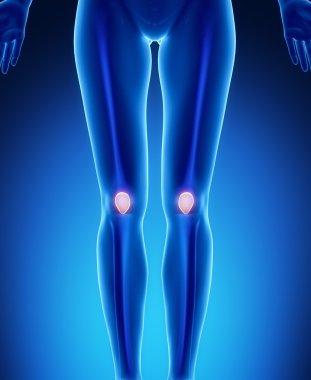 female legs with PAtella anatomy