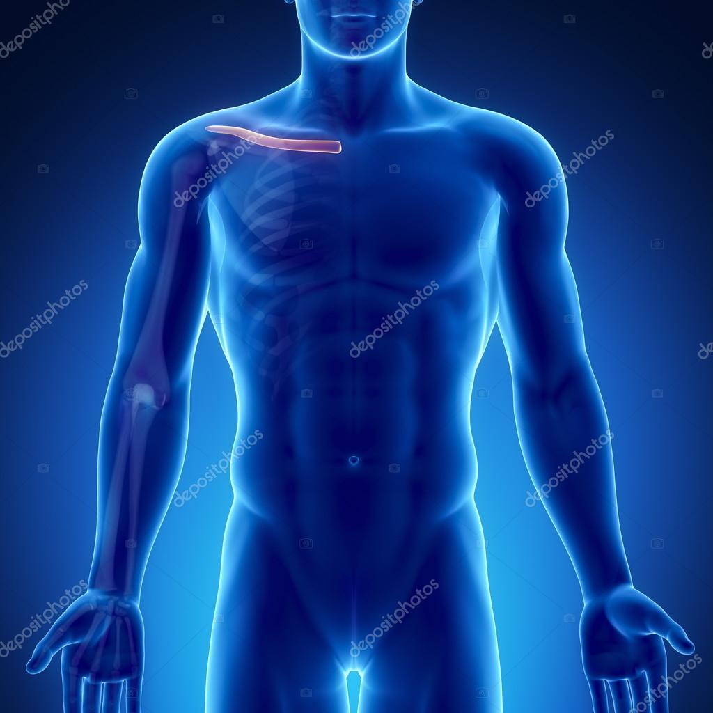 männlichen Knochen Anatomie — Stockfoto © CLIPAREA #74136259