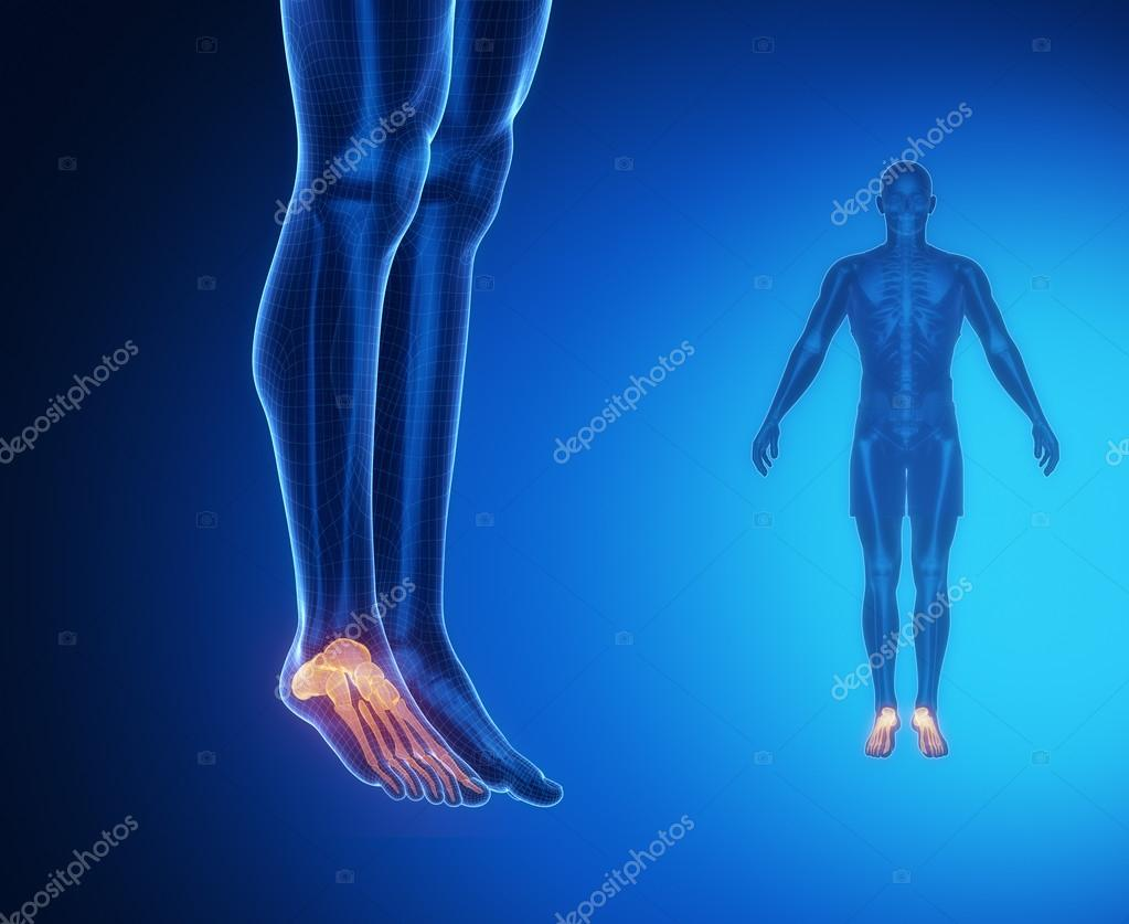 Ankle Bones Anatomy Stock Photo Cliparea 74136583