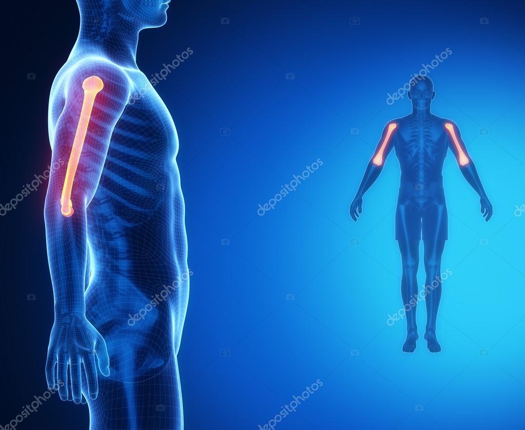 Anatomía de los huesos del húmero — Fotos de Stock © CLIPAREA #74136649