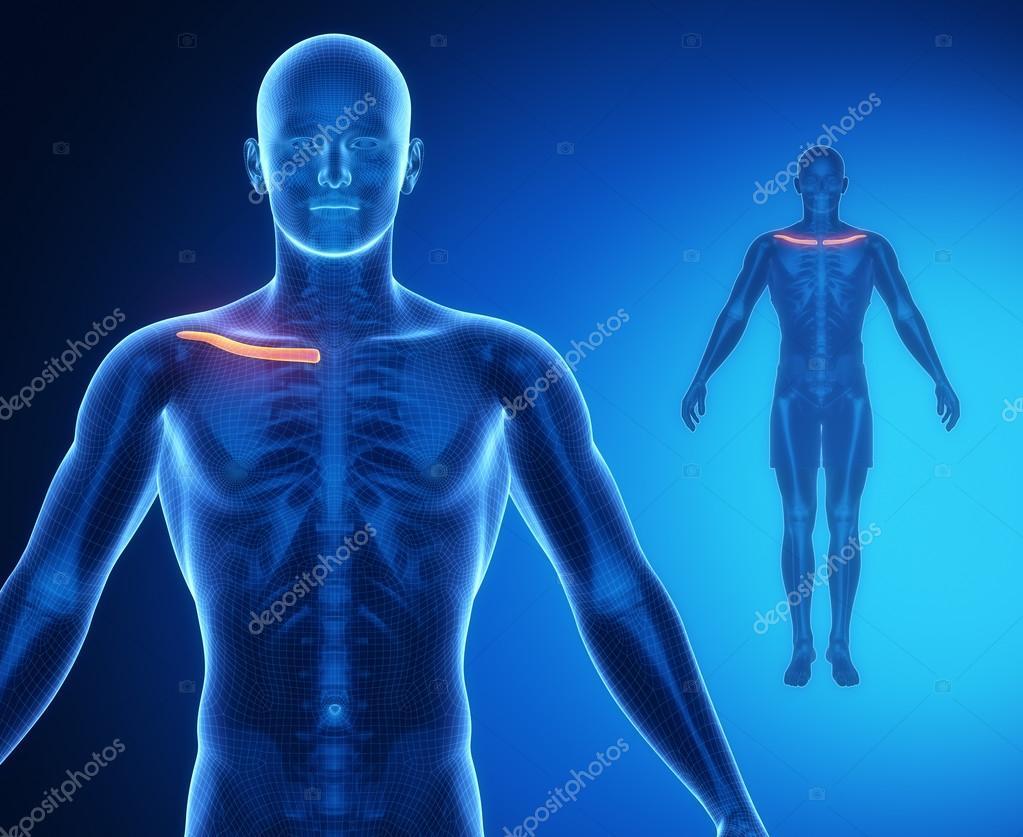 CLAVICLE bone anatomy scan — Stock Photo © CLIPAREA #74136721