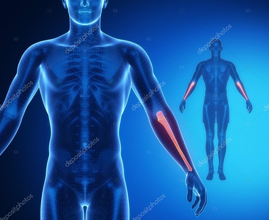Análisis de anatomía de los huesos cúbito — Foto de stock © CLIPAREA ...