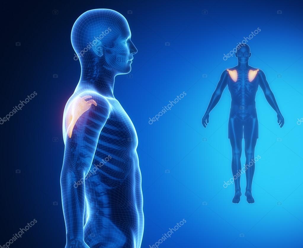 Análisis de anatomía de los huesos escápula — Foto de stock ...