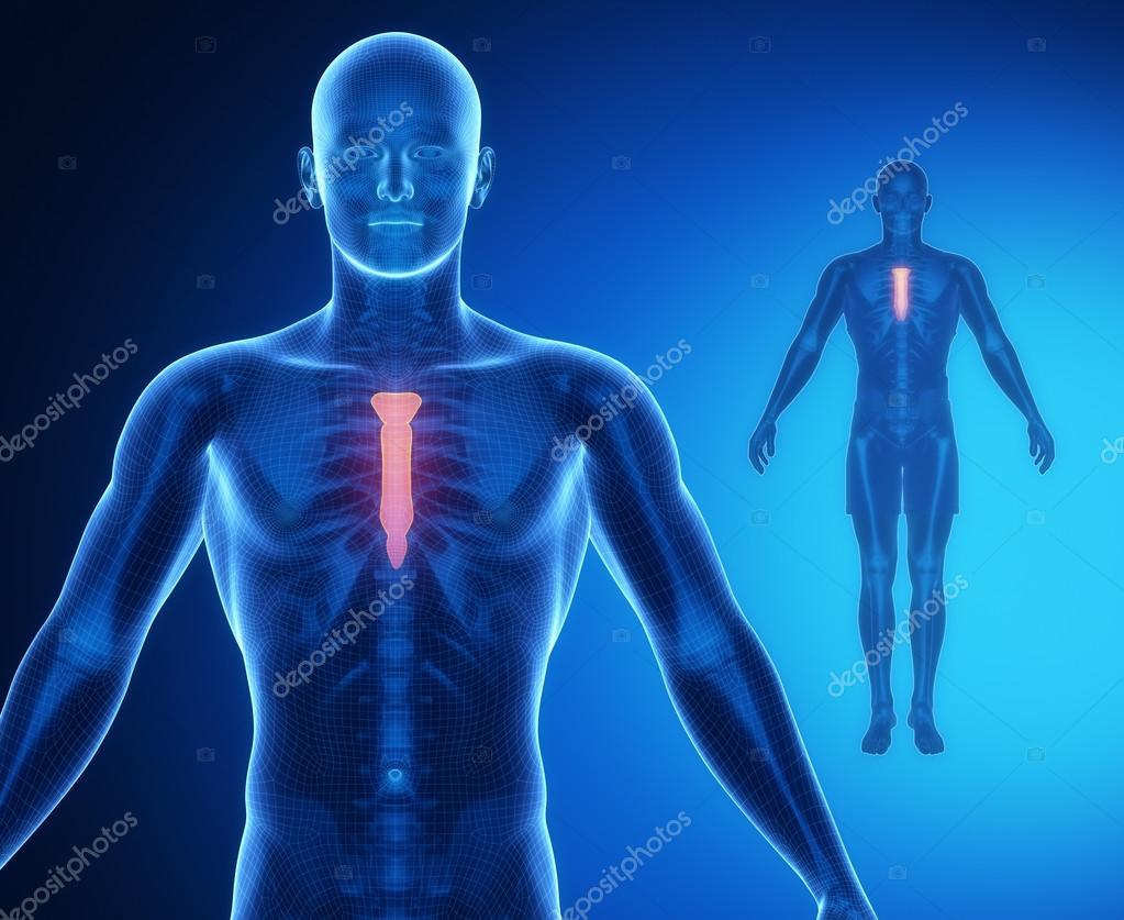 Brustbein Knochenscan Anatomie — Stockfoto © CLIPAREA #74137117