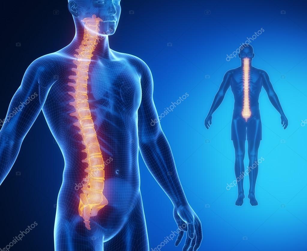 spinal anatomy vertebral column spineuniverse