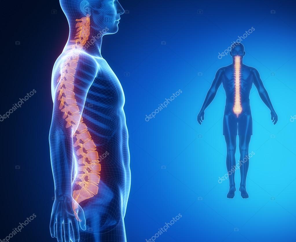 Spine Bones Anatomy Scan Stock Photo Cliparea 74137349
