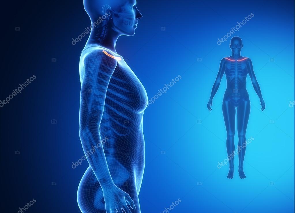 exploración de los huesos de la clavícula — Foto de stock © CLIPAREA ...