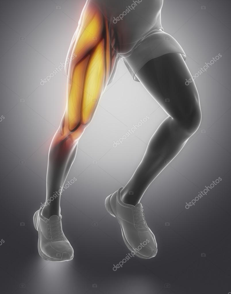 Oberschenkel-Muskel-Anatomie — Stockfoto © CLIPAREA #74138065