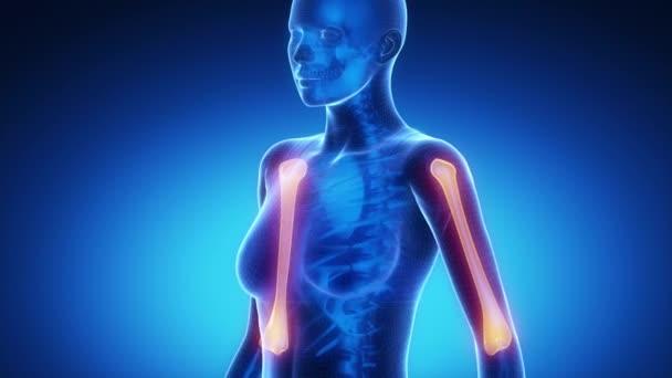 HUMERUS  bone skeleton x-ray scan in blue