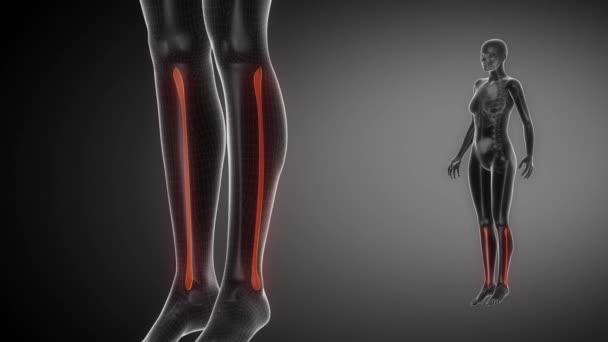 Exploración del hueso del peroné radiografía de esqueleto — Vídeos ...