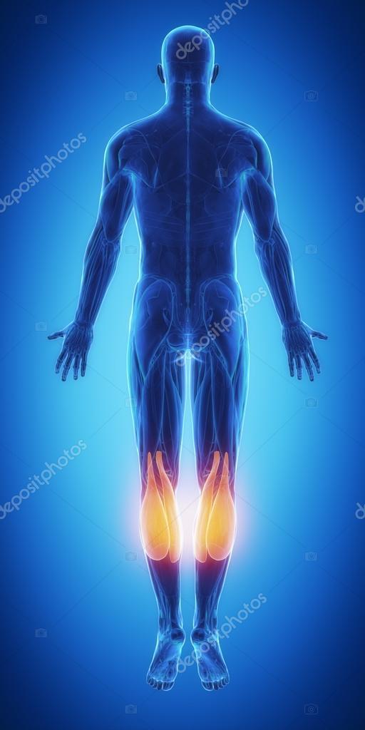 Mapa de anatomía de los músculos — Fotos de Stock © CLIPAREA #88087042