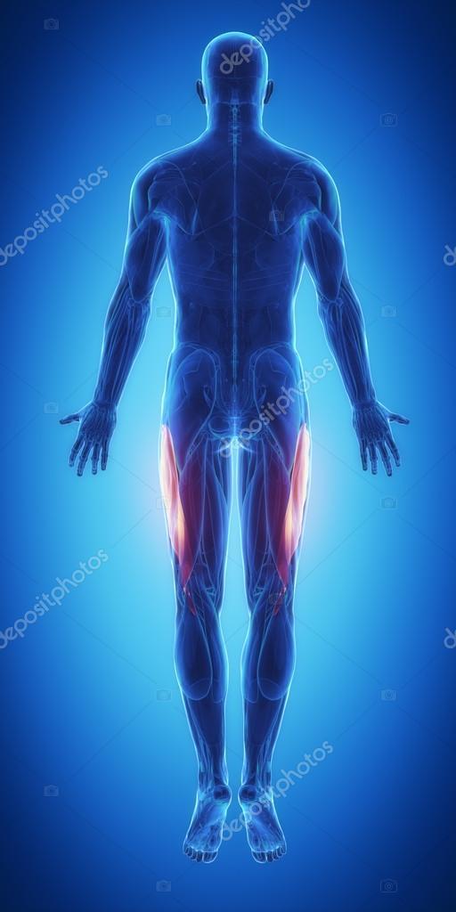 Mapa de anatomía de los músculos — Foto de stock © CLIPAREA #88087048