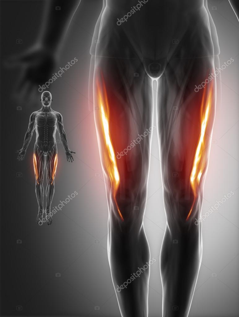Mapa de anatomía de los músculos — Fotos de Stock © CLIPAREA #88087150