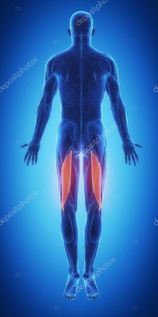 Muskeln Anatomie Karte — Stockfoto © CLIPAREA #88087372