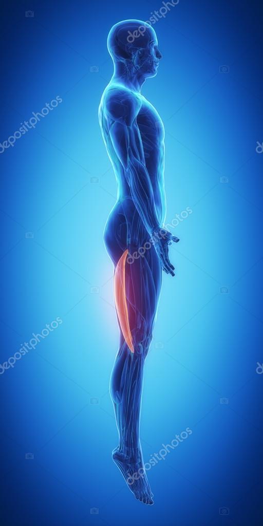 Mapa de anatomía de los músculos — Fotos de Stock © CLIPAREA #88087404