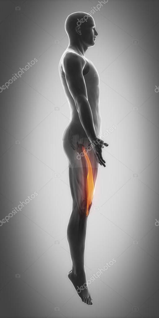 Muskeln Anatomie Karte — Stockfoto © CLIPAREA #88087472
