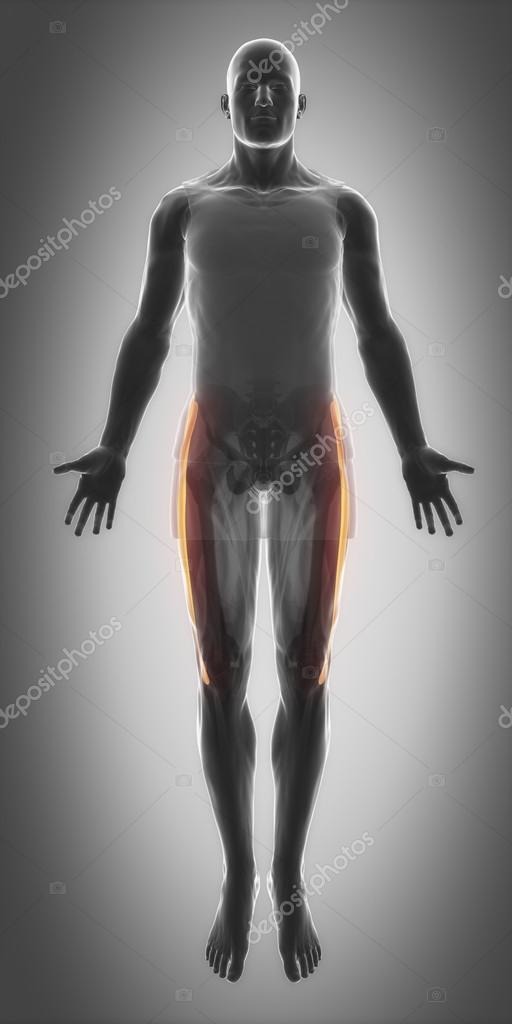 Muskeln Anatomie Karte — Stockfoto © CLIPAREA #88087546