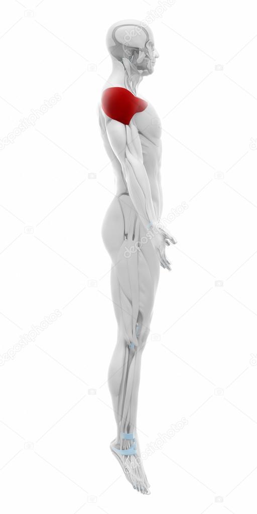 Deltoides - mapa de anatomía de los músculos — Foto de stock ...