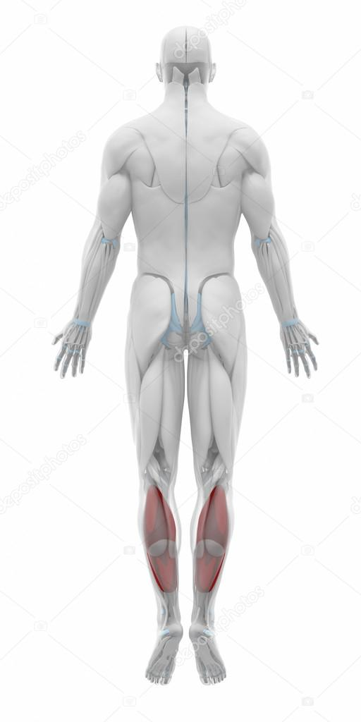 Soleus - Muscles anatomy map — Stock Photo © CLIPAREA #88087642