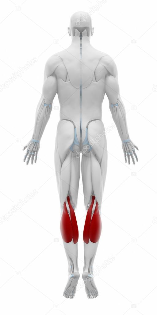 Muskeln Anatomie Karte — Stockfoto © CLIPAREA #88087658