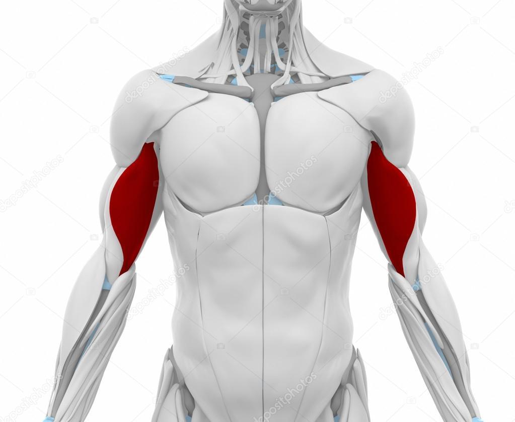 Biceps-brachii - mapa de anatomía de los músculos — Foto de stock ...
