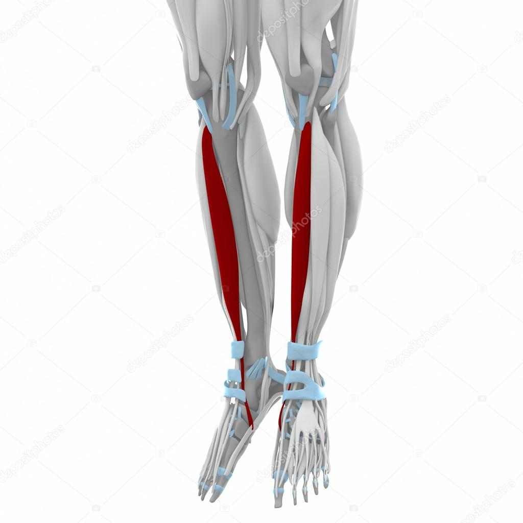 Tibialis anterior - spieren anatomie kaart — Stockfoto © CLIPAREA ...