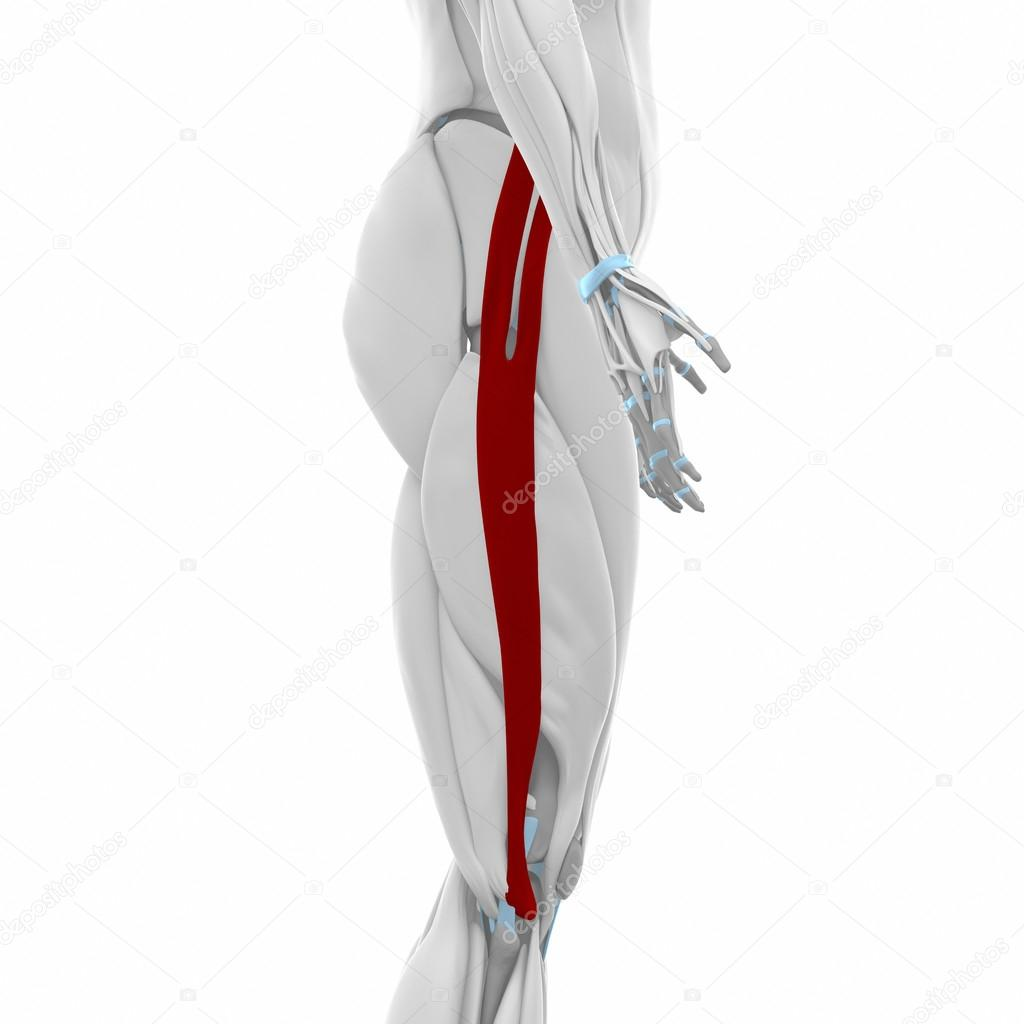 Iliotibial tract - Muscles anatomy map — Stock Photo © CLIPAREA ...